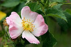 Na górze róże, na dole fiołki