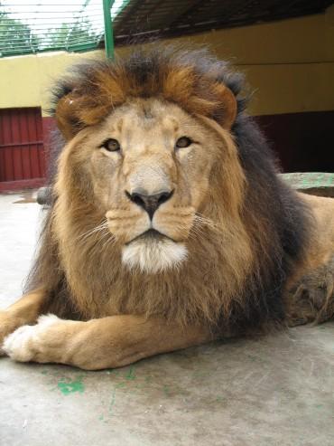 Są lwy? To proszę zaryczeć
