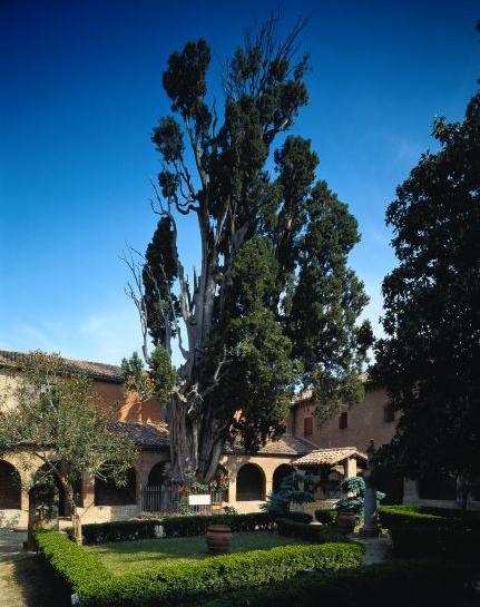 Cyprys świętego Franciszka