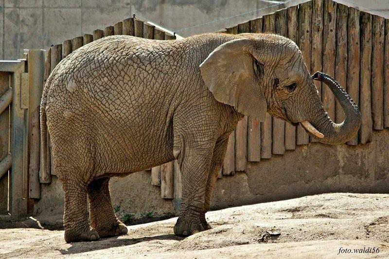 Animali e animaletti: modi di dire con elefante